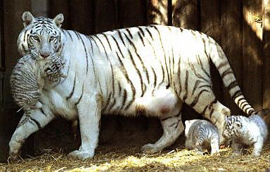 这几只可爱的小白虎是在今年6月10日出生的.