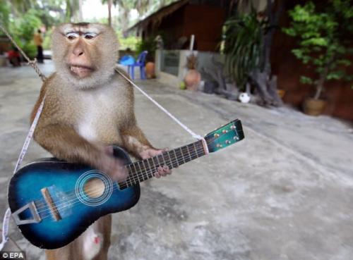 泰动物表演背后的辛酸:小猴遭虐待饥饿难耐(图)