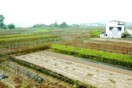 潼南县,双坝蔬菜基地大面积干旱. 记者 龙在全 摄