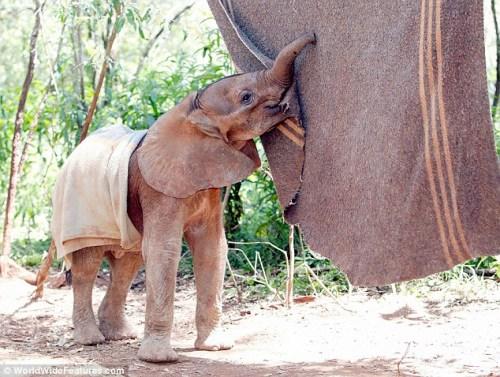 孤儿小象用鼻尖触碰毛毯,并蹭蹭它