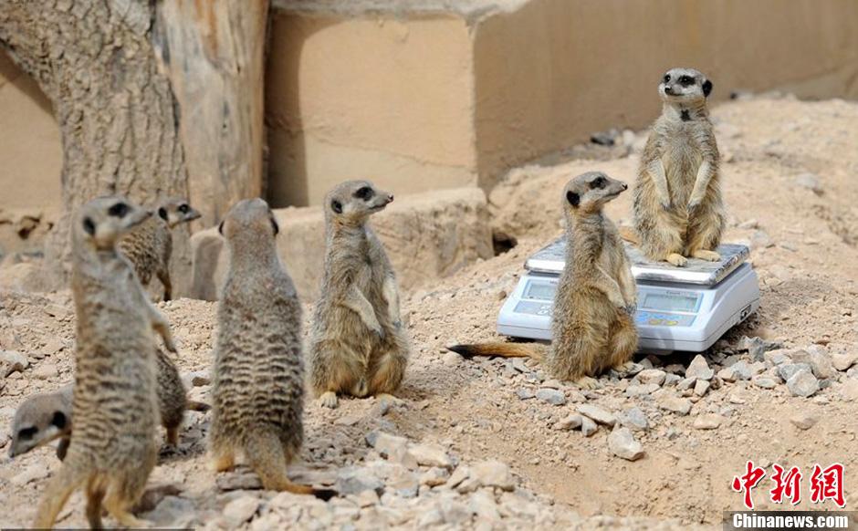 伦敦动物园为动物称重 鼬鼠自觉排队井然有序