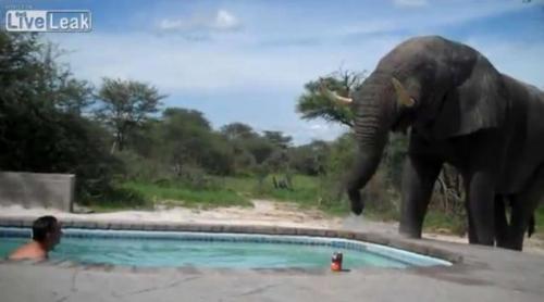 大象到泳池喝水,在水中嬉戲的男子感到十分好奇,同時又驚嚇不已