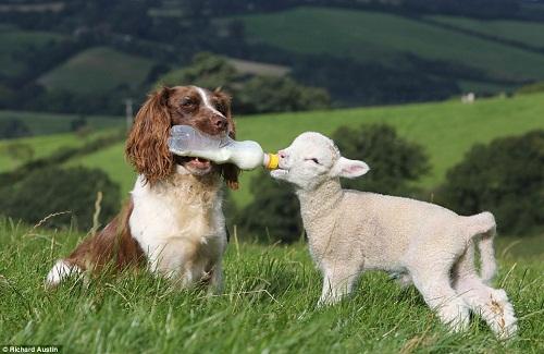 热心牧羊犬当奶妈+叼奶瓶给小羊羔喂奶(图)