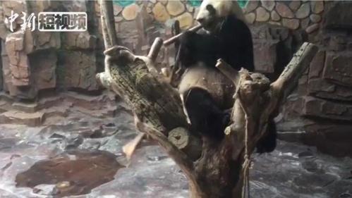 大熊猫空调房内悠闲享用竹笋