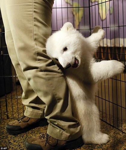 """可爱 卢娜/小北极熊""""卢娜""""在纽约水牛城动物园亮相..."""