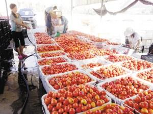 莳植户为采摘下的番茄洒水降温。