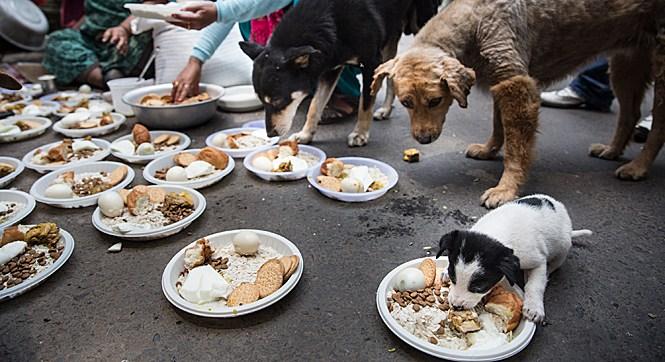 国际动物保护组织为尼泊尔受灾动物提供食物