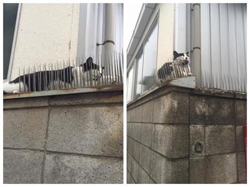 淡定猫咪滚钉板毫无害怕。