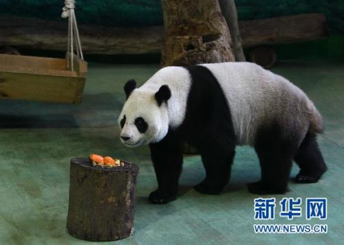 """大熊猫""""圆圆""""。"""