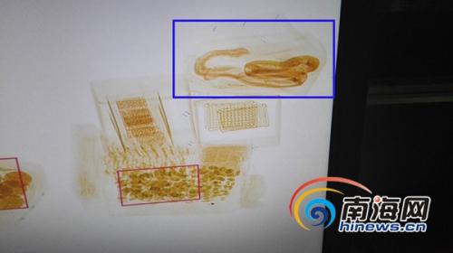通过X光机判别图发现一货件疑似活体动物蛇的图像