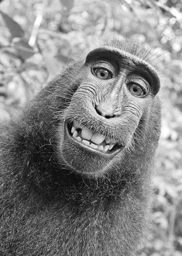 火遍全球的猴子自拍照 图片来源:武汉晚报