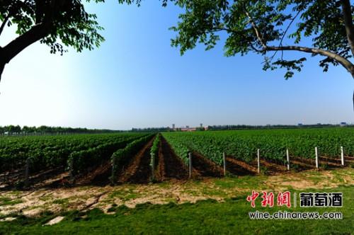 陕西张裕瑞那城堡酒庄一马平川的葡萄园。