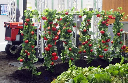 日本现可采摘番茄的机器人 智能感应效率高(图)