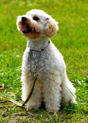 被选为明年特约警犬的贵宾犬Anzu。