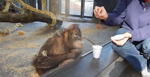 研讨人员为猩猩扮演把戏。