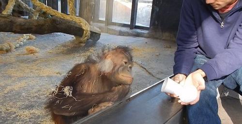 猩猩仔细地看着把戏扮演。