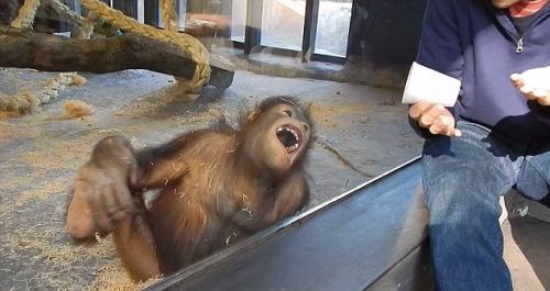 猩猩被面前的小把戏逗得前俯后仰。
