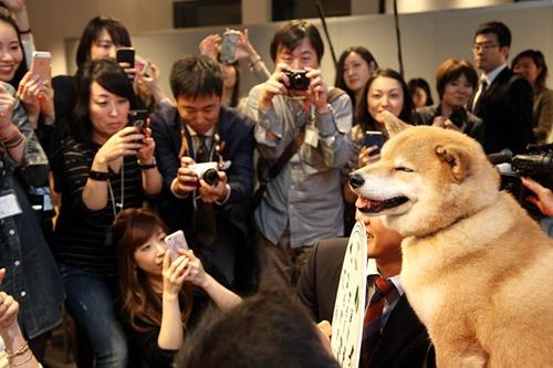 日本超萌柴犬全球数百万粉丝 表情丰富傲娇(图)