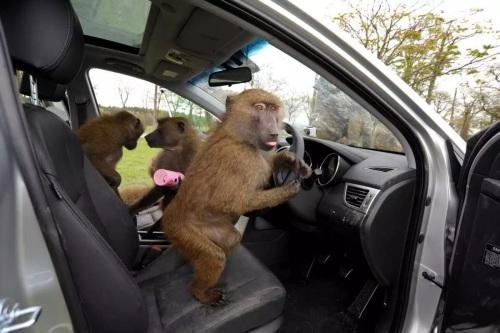 车中无司机猴子称霸王:印度猴子偷开巴士酿车祸