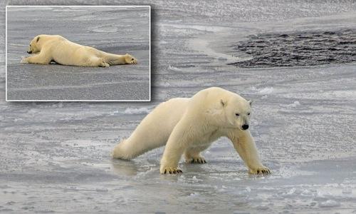 北极熊冰上用肚子滑行 可爱动作隐藏原因令人忧