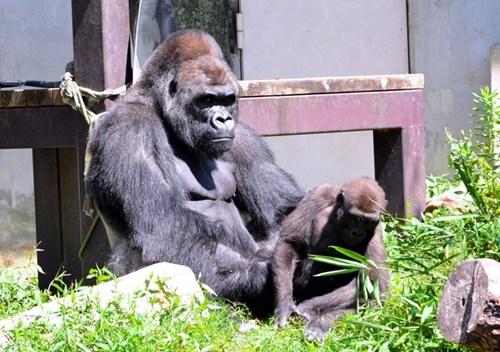 表情酷人气高 日本最帅猩猩代言公务员招聘(图)