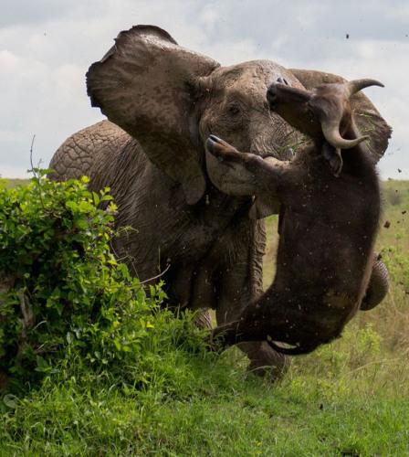 不自量力:水牛攻击母象 被抛向空中重伤死亡(图)