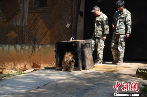 Yunnan wild zoo with a real tiger beast cage escape emergency combat drills