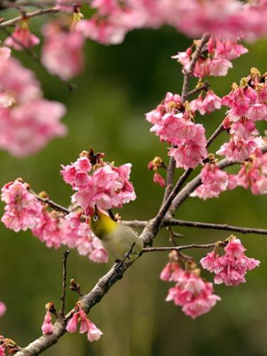 日本最早的樱花开了:鸟儿枝头嬉戏春意浓(图)