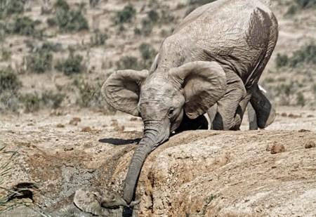 小象跌落水坑被困 母象试图用象鼻救子(图)