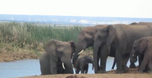 在工作人员的帮助下,小象终于与象妈妈团聚。