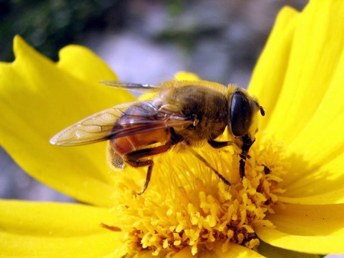 小生物大本领:蜜蜂等每年为日本农业贡献巨大