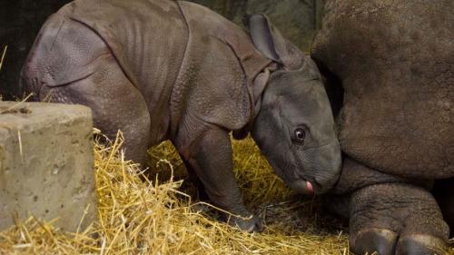 印度小犀牛在多伦多动物园出生.