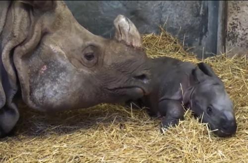 目前犀牛母子健康状况良好。