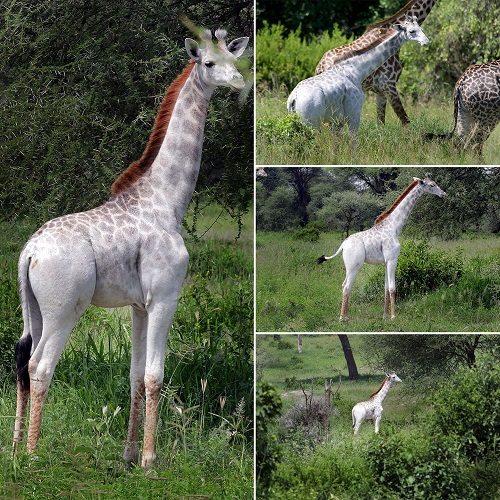 """这头长颈鹿患有""""白毛症"""",部分皮肤可产生黑色素,并不是纯白的。"""