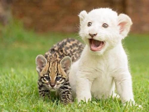 美国内布拉斯加动物园诞生了一头罕见的小白狮。