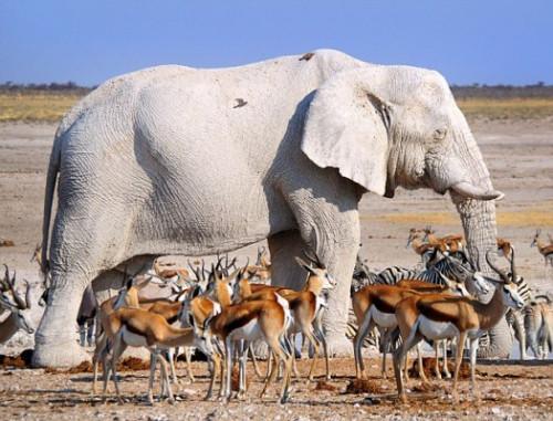 大象在泥潭里打滚后,全身成了?#37326;?#33394;。