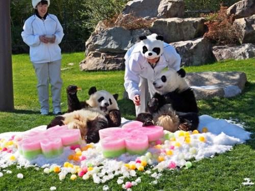 日本为双胞胎熊猫过女儿节 粉嫩冰块当礼物(图)
