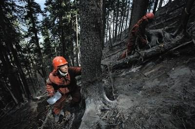 3月10日,扑火队员审查树木,扫除复燃的能够性。火场断崖纵横,陡坡多数在50度以上,有的乃至到达70度以上。