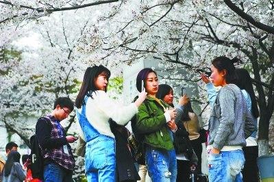 克日,武大的樱花吸收多量旅客前来赏花。