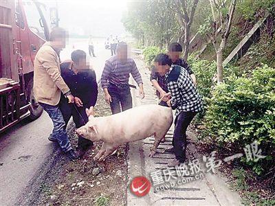 猪犯困的可爱图片