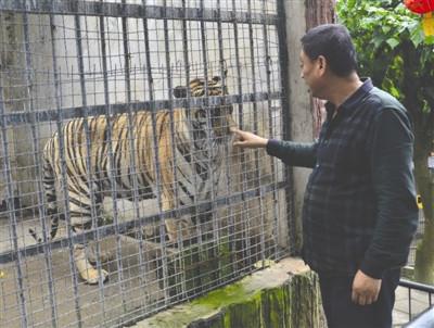 猫咪可以近亲繁殖吗动物园老虎形体消瘦 园方回应:老了胃口差