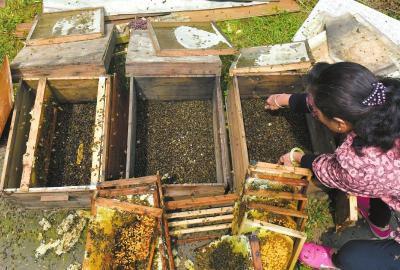 蜂箱里堆着厚厚一层死蜂。