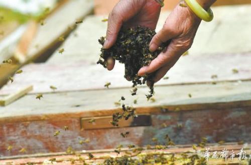蜜蜂尸体一抓一大把。