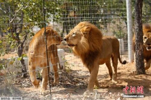 资料图:狮子