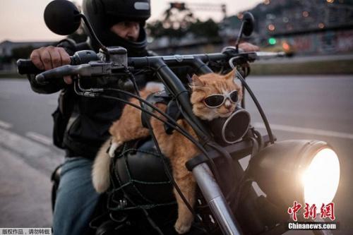 戴墨镜骑摩托车兜风 巴西12岁猫咪悠哉耍酷(图)
