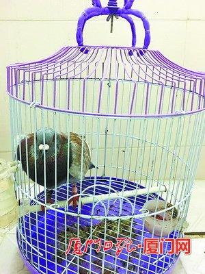 """因被主人所救的信鸽占了""""家"""" 画眉鸟负气出走"""