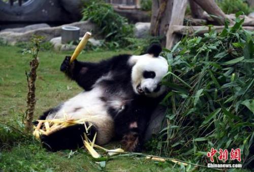 资料图:大熊猫吃竹子