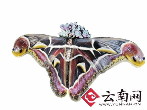 云南腾冲现世界最大蛇头蛾 30厘米翅膀背