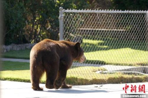 材料图:黑熊