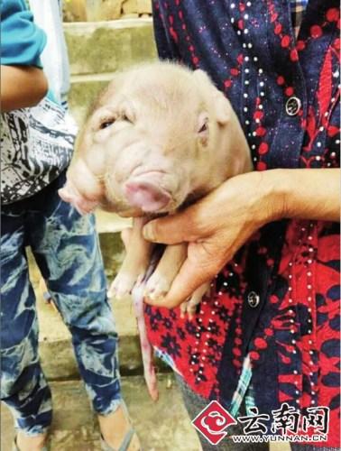 云南一母猪产下双头四眼猪崽 两嘴都能吃喝(图)